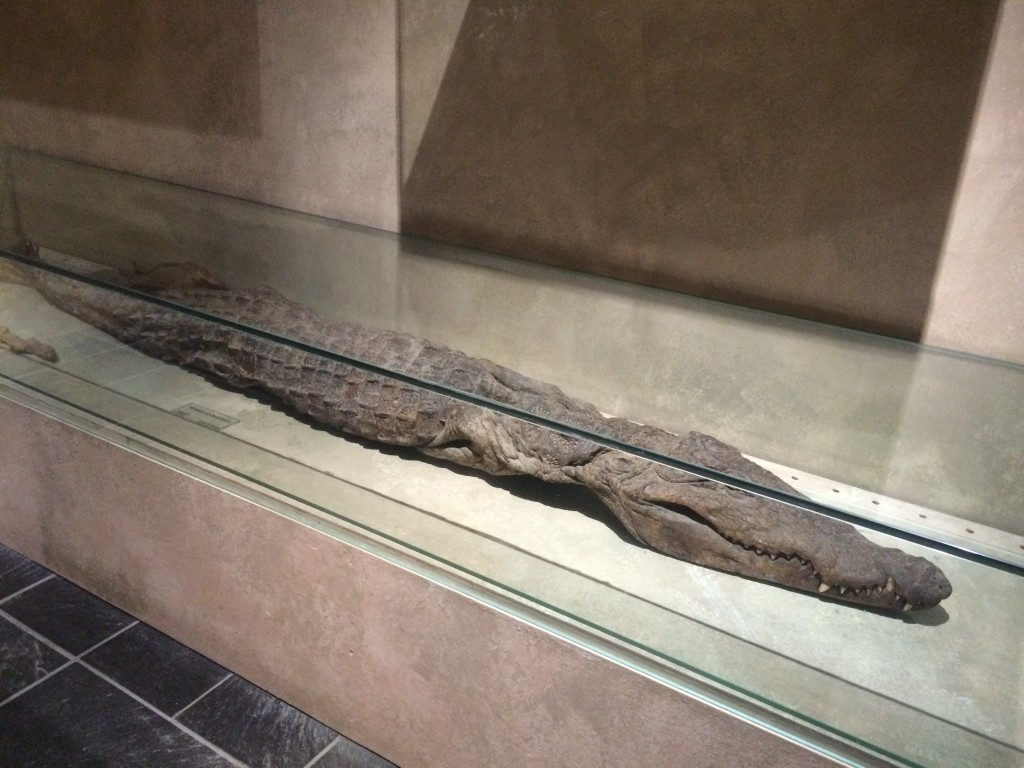mumified crocodile